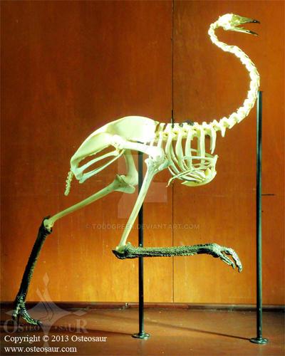 Skeleton of Ostrich | ClipArt ETC |Emu Anatomy