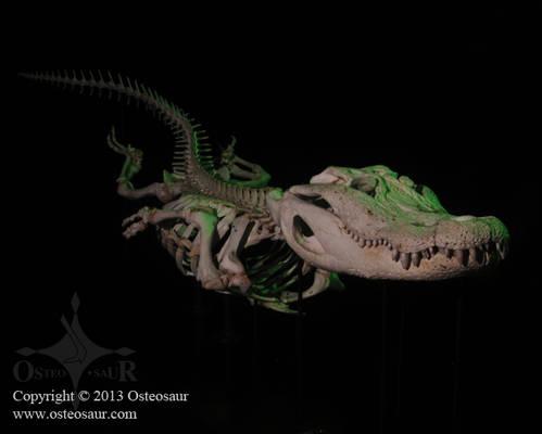 Swimming 9-Foot Alligator Skeleton