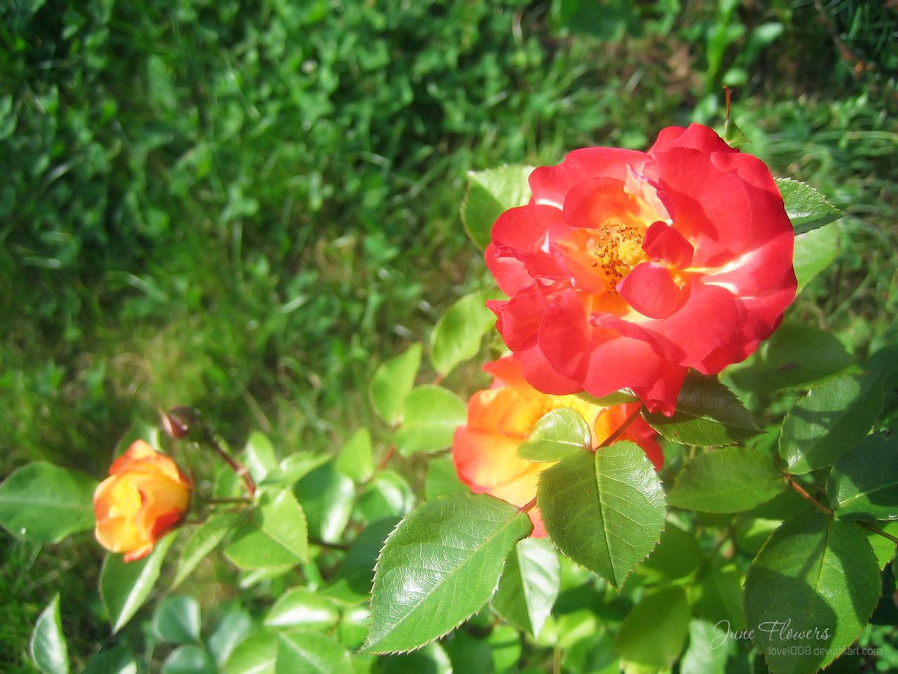 June Flowers 1 by love1008 on deviantART