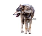 Resized Wolf