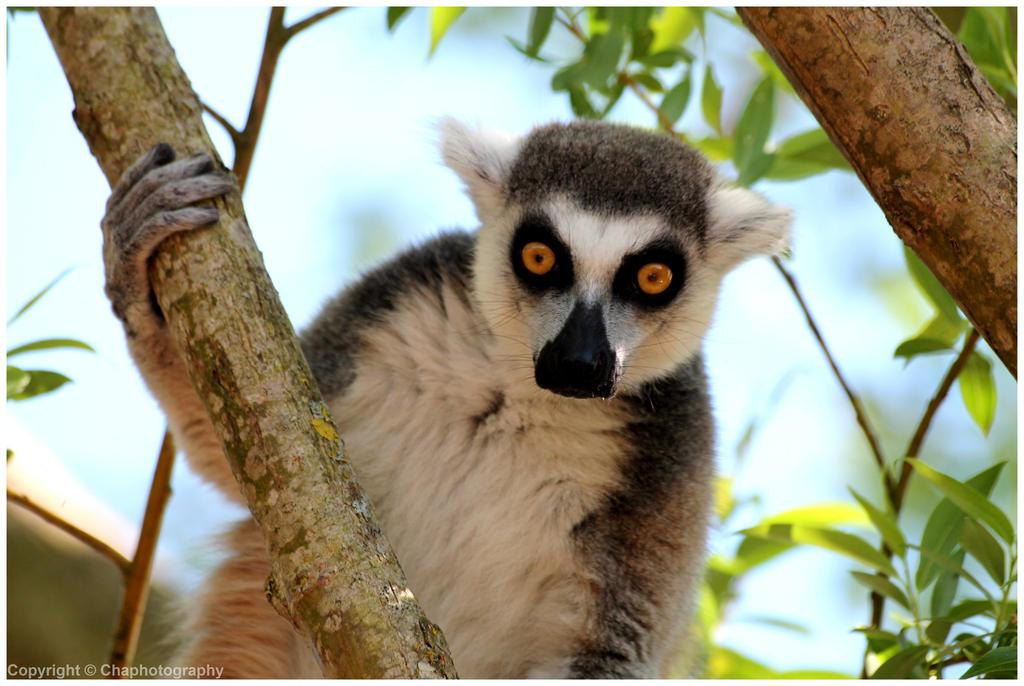 Lemurs - Lemurien (2014) by Toutchatrien