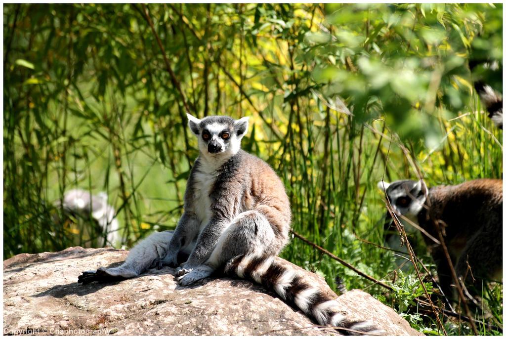 Lemurs - Lemuriens (2014) (3) by Toutchatrien