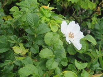 White wild rose by Qavvikk