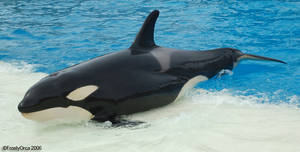 Frosty's Favorate Orca by Frosty-Orca