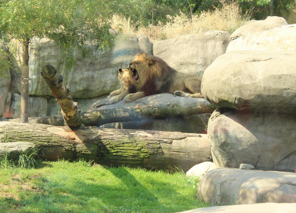 Big Cat Yawn by VolpeTrickster