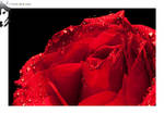 Red Rose 03