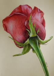 Red rose by JennyHaslimeier
