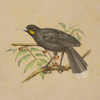 Huia Bird by JennyHaslimeier