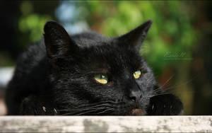 Black Cat 02 by Eariell