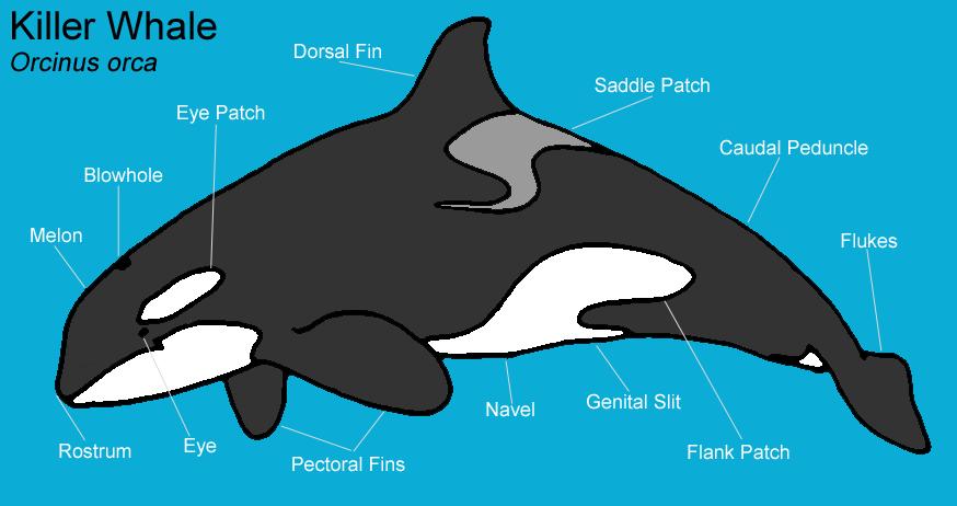 Orca skeleton diagram