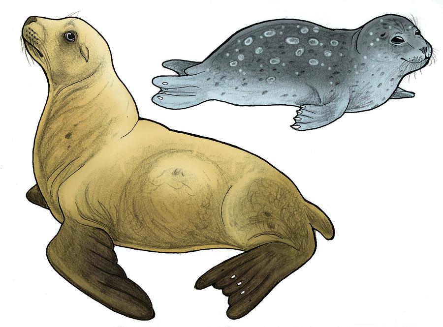 Seal or Sea Lion? by WhaleWolf on DeviantArt