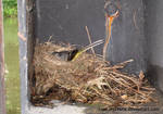 Wagtail nesting