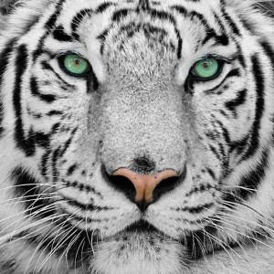 The-White-Tigress's Profile Picture