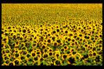 under the sun..flower by CelineSIMONI