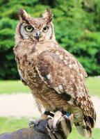 Owl-Stock 1 by Avahlon-Stock