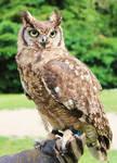 Owl-Stock 1