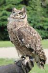 Owl Stock 3