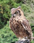 Owl Stock 4