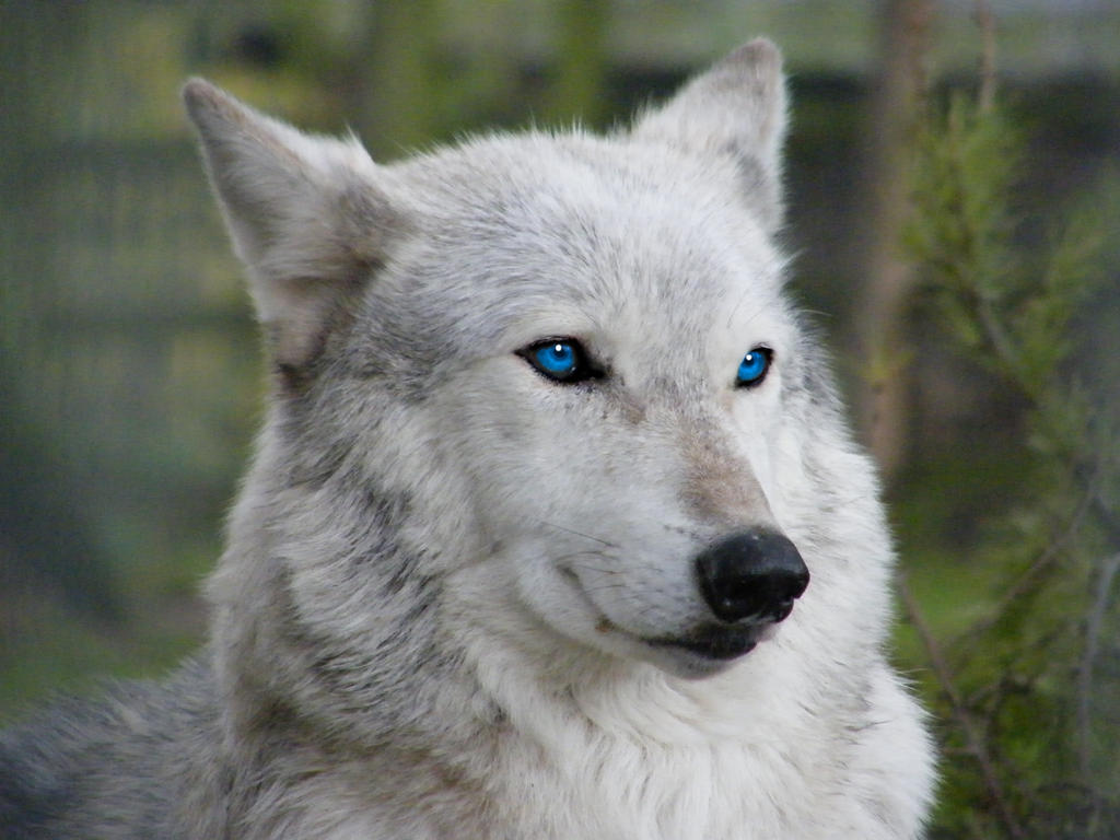 White Wolf With Purple Eyes Name Winter