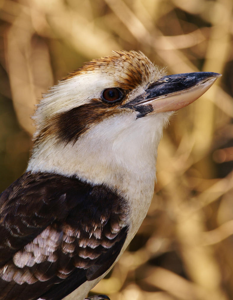 The Great Kookaburra by AdARDurden
