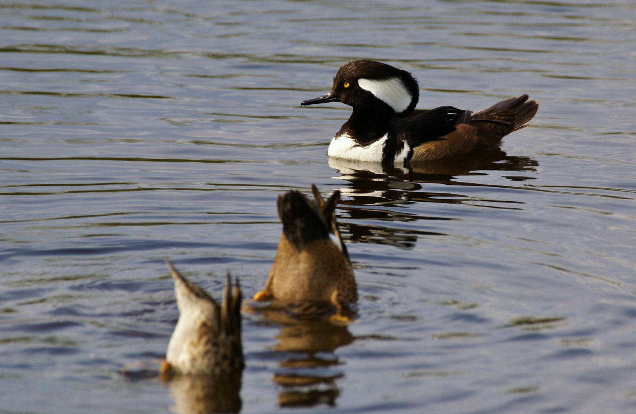 . . Hooded Merganser and Friends . . by AdARDurden