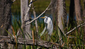 Relaxation Great Egret Style - a580 by AdARDurden