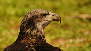 Juvenile American Bald Eagle . Jax Zoo . A580