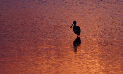 Solitary Spoonbill at Sunset ~ MNWR ~ Sony A580
