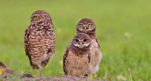 Little Owls in Florida