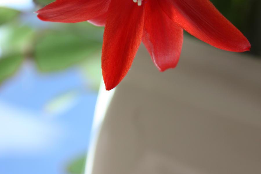 Easter Cactus in bloom