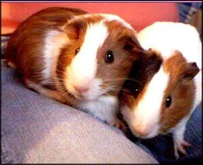 ___Guinea_pigs___.jpg