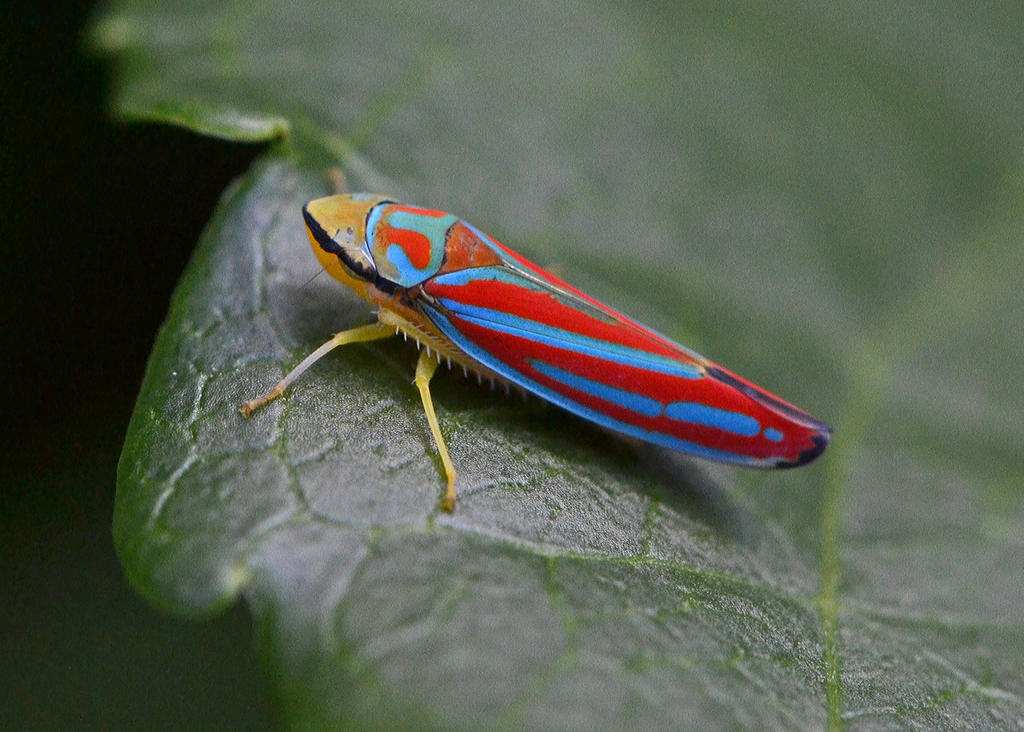 Red-banded Leafhopper by wreckingball34