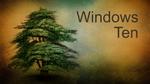 Cedar of Lebanon W10