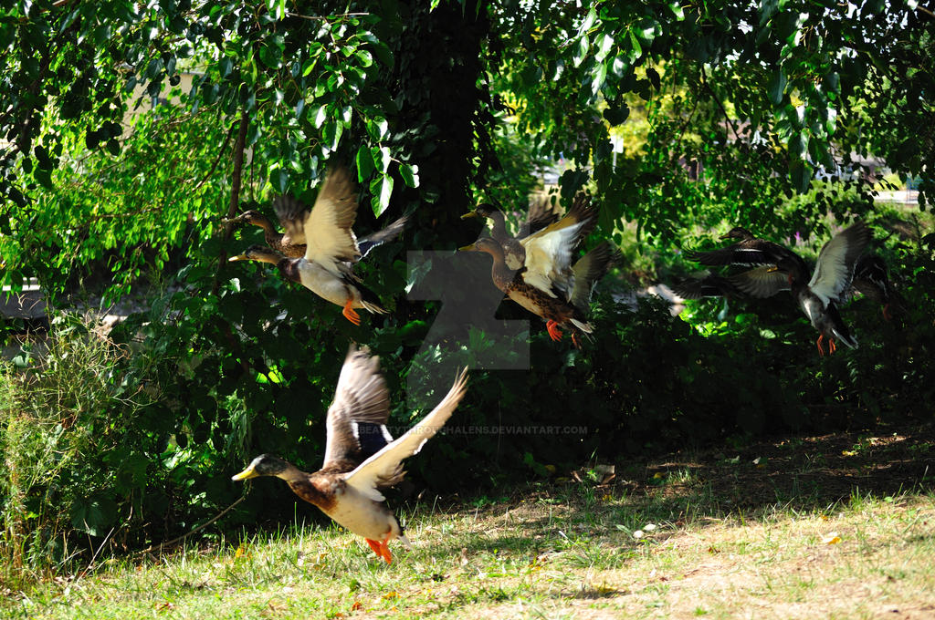 Ducks in flight by beautythroughalens