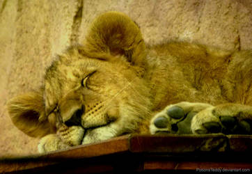 Dreamy little lion