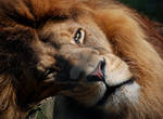 Lazy Lion by Chaotica-I