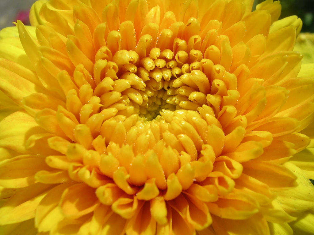 Yellow Aster By Blackeyessnowangel On Deviantart