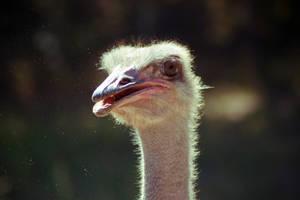 Ostrich by danlev