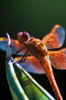 Dragonfly by danlev