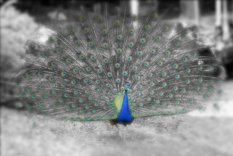 Splash Peacock