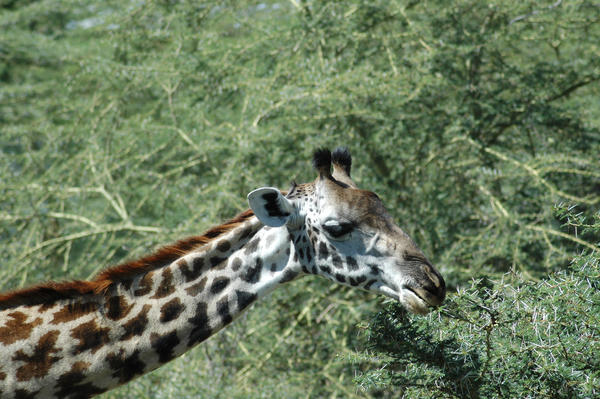 Giraffe 4 by CosmicStock