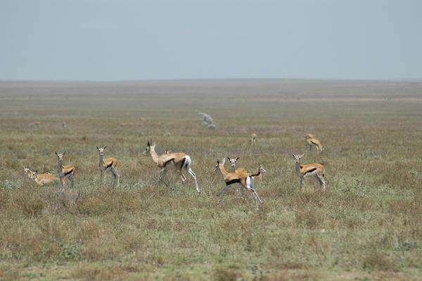 Thompson Gazelles 1 by CosmicStock