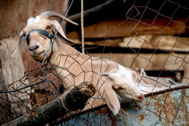 Freedom for goats...