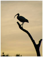 Mighty Ibis II by Ramio