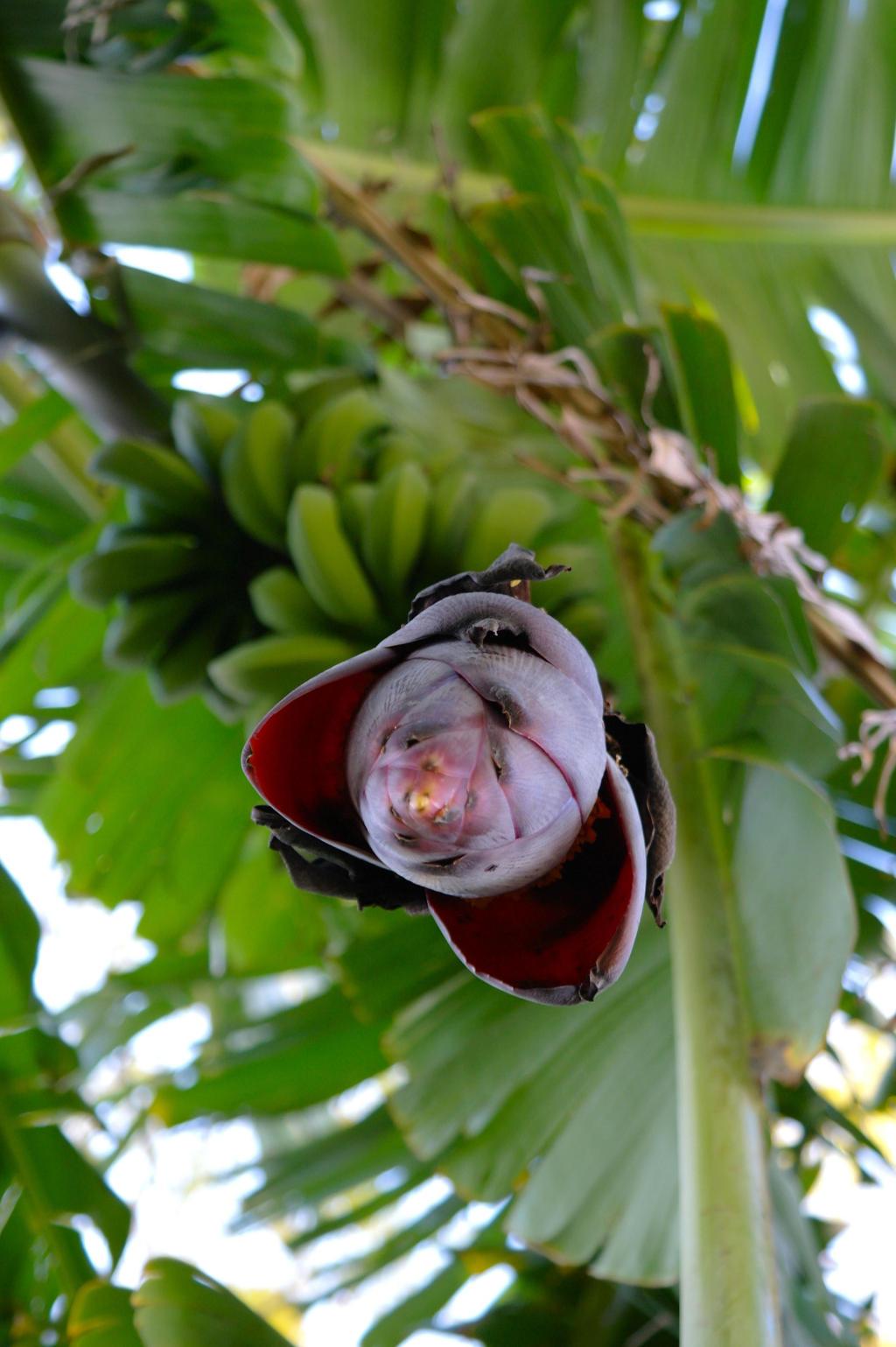 Banana Flower by Ramio on deviantART