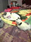 Creeper Kitten