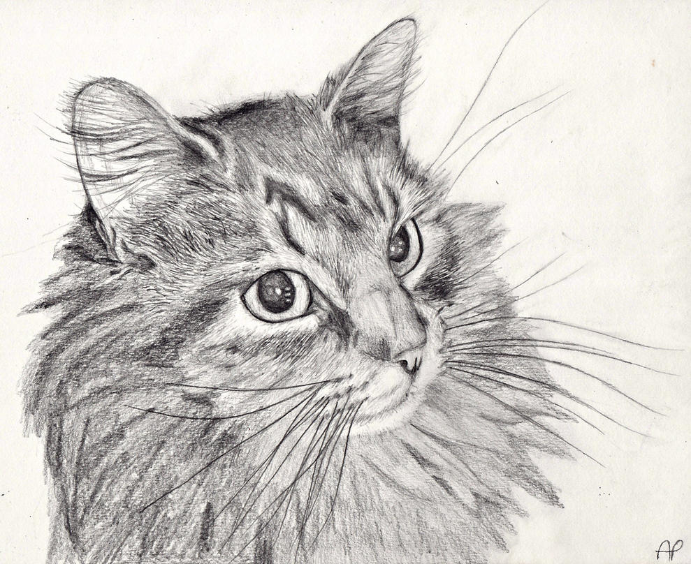 maine coon coloring pages