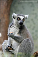 Ring-tailed lemur III by HappyRaindrop