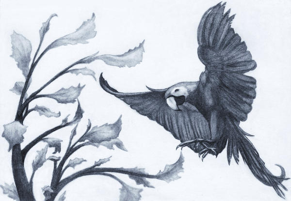 Blue Macaw Drawing Blue Macaw by picous