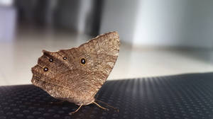 Evening Brown - Melanitis leda by Vusiuz